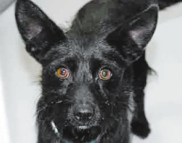 Woody The Animal Foundation My name is Woody (I.D. No. A746597), and I'm a 1-year-old male terrier who's ready to find a forever family. I make a perfect nighttime cuddle buddy; I don't take ...