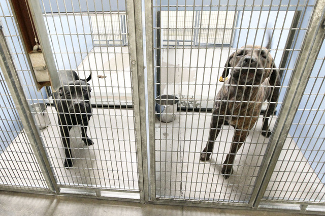 Tiny, left, and Tank, are seen in the quarantine area of Lied Animal Shelter in Las Vegas, Friday, Nov. 1, 2013. The dogs are expected to be euthanized on Saturday. (Jerry Henkel/Las Vegas Review- ...