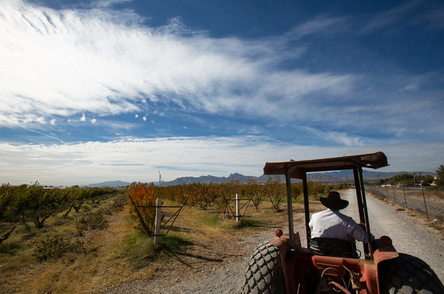 Gilcrease Orchard director Mark Ruben drives a tractor around the orchard, located at 7800 N. Tenaya Way, on Tuesday, Nov. 12, 2013. (Samantha Clemens/Las Vegas Review-Journal)