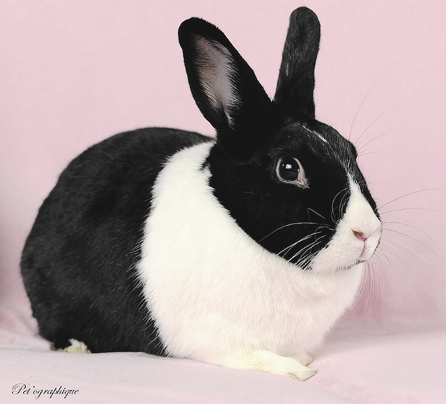 Elsa Nevada SPCA My dream is to have a sister bunny, a soulmate, and spend the rest of our lives peacefully together in a loving, indoor-only home. My name is Elsa, and I am a beautiful Dutch rabb ...