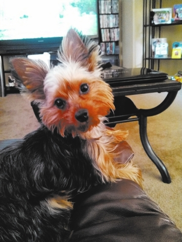 "Henderson residents Teekay, Chris and Christopher Bryant said, ""This is our beloved 1-year-old toy Yorkie Jaxxson Steeler Bryant. Jaxx is a huge Steelers fan, watches all the Steelers games and  ..."