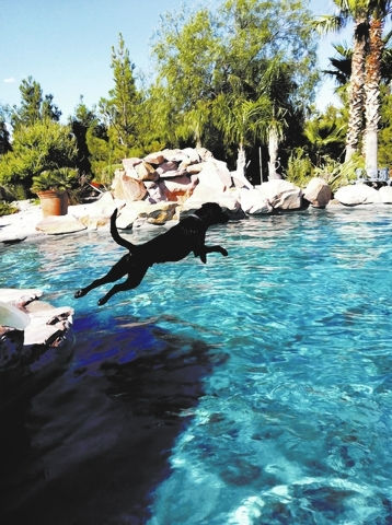 Candice DeGregorio's dog Beso plays in the pool in Centennial Hills.