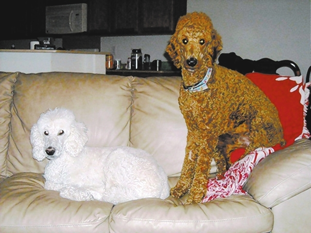 "Barbara Kaye of Henderson said, ""These are my standard poodle couch potatoes. Frisco and Dooby just love to watch TV. Their favorite movie is 'Beethoven.' """