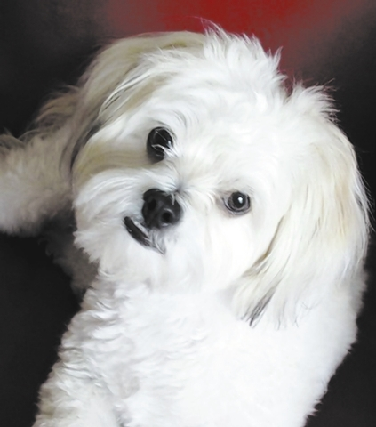 "Michaela Urma of Summerlin quoted Norman as saying, ""Hi, my name is Norman. I am a 9-month-old Maltese mix. My parents adopted me when I was just 2 months from Adopt A Rescue Pet. I am a very ha ..."