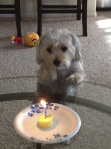 "Henderson resident Rosemarie Fahd said, ""Charlie is a morkie who celebrated his first birthday on Sept. 13."""