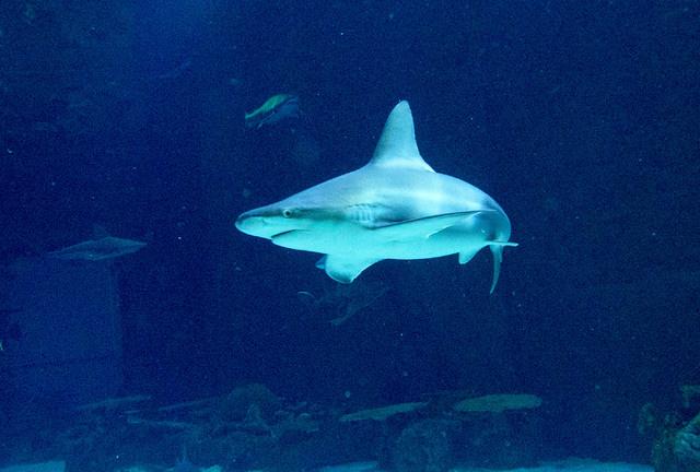 A sandbar shark swims in the Neptune's Fury aquarium at the Shark Reef aquarium in the Mandalay Bay hotel-casino in Las Vegas, Tuesday, Nov. 5, 2013. (Jerry Henkel/Las Vegas Review-Journal)