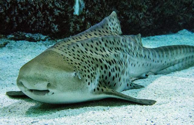 A zebra shark sits on the bottom at the Shark Reef aquarium in the Mandalay Bay hotel-casino in Las Vegas, Tuesday, Nov. 5, 2013. (Jerry Henkel/Las Vegas Review-Journal)