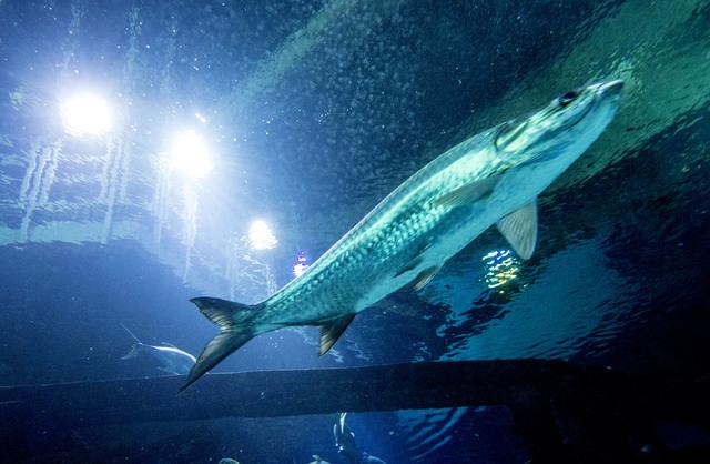 A tarpon swims in the Neptune's Fury aquarium at the Shark Reef aquarium in the Mandalay Bay hotel-casino in Las Vegas, Tuesday, Nov. 5, 2013. (Jerry Henkel/Las Vegas Review-Journal)