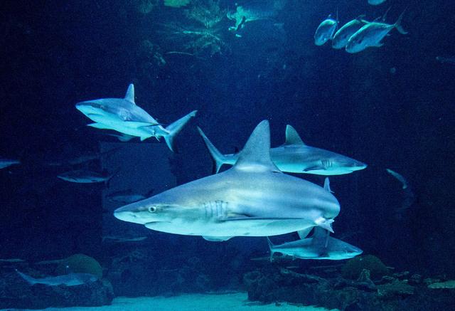 A sandbar sharks, foreground, two gray reef sharks, left and right, and one more sandbar shark, lower rear, cruise through the Neptune's Fury aquarium at the Shark Reef aquarium in the Mandalay Ba ...