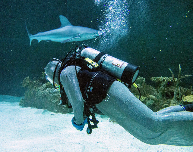 Aquarium general curator Jack Jewell swims in front of a Galapagos shark at the Shark Reef aquarium in the Mandalay Bay hotel-casino in Las Vegas, Tuesday, Nov. 5, 2013. Jewell is wearing chain ma ...