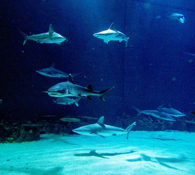 Sharks swim at various depths in the Neptune's Fury aquarium at the Shark Reef aquarium in the Mandalay Bay hotel-casino in Las Vegas, Tuesday, Nov. 5, 2013. (Jerry Henkel/Las Vegas Review-Journal)