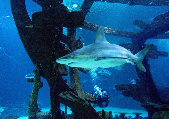 A sandbar shark swims through the shipwreck in the Neptune's Fury aquarium at the Shark Reef aquarium in the Mandalay Bay hotel-casino in Las Vegas, Tuesday, Nov. 5, 2013. Aquarium general curator ...