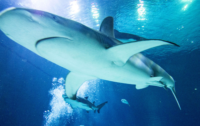 A Galapagos shark is seen at close range in the Neptune's Fury aquarium at the Shark Reef aquarium in the Mandalay Bay hotel-casino in Las Vegas, Tuesday, Nov. 5, 2013. (Jerry Henkel/Las Vegas Rev ...
