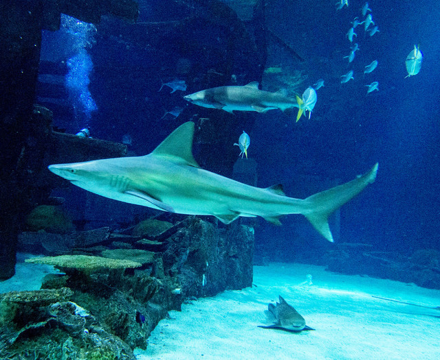 A sandbar shark, foreground, and a sand tiger shark, rear, are seen at the Shark Reef aquarium in the Mandalay Bay hotel-casino in Las Vegas, Tuesday, Nov. 5, 2013. (Jerry Henkel/Las Vegas Review- ...