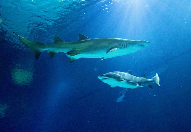 Two sand tiger sharks cruise near the surface of the Neptune's Fury aquarium at the Shark Reef aquarium in the Mandalay Bay hotel-casino in Las Vegas, Tuesday, Nov. 5, 2013. (Jerry Henkel/Las Vega ...