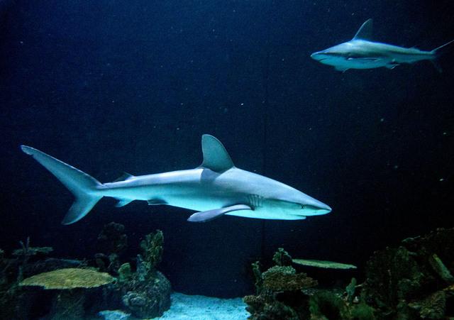 A Galapagos shark is seen at the Shark Reef aquarium in the Mandalay Bay hotel-casino in Las Vegas, Tuesday, Nov. 5, 2013. (Jerry Henkel/Las Vegas Review-Journal)