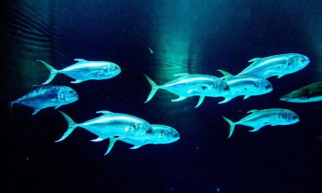 Crevalle jacks are seen at the Shark Reef aquarium in the Mandalay Bay hotel-casino in Las Vegas, Tuesday, Nov. 5, 2013. (Jerry Henkel/Las Vegas Review-Journal)