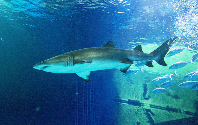 A sand tiger shark is seen at the Shark Reef aquarium in the Mandalay Bay hotel-casino in Las Vegas, Tuesday, Nov. 5, 2013. (Jerry Henkel/Las Vegas Review-Journal)