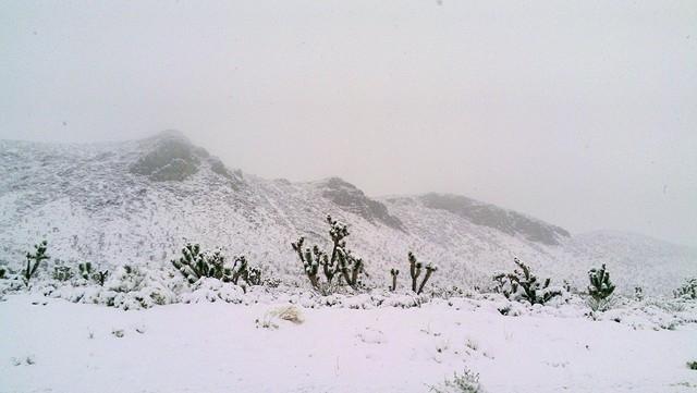 Snow shrouds Joshua trees along the road to Mount Charleston on Friday. (Courtesy, Randy Fujita)