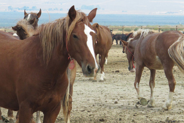Mustangs captured on federal rangeland roam at the U.S. Bureau of Land Management's holding facility north of Reno, Wednesday, Sept. 4, 2013, in Palomino, Nev. (File, AP Photo/Scott Sonner).