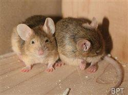 Cold weather pushes rodents into homes