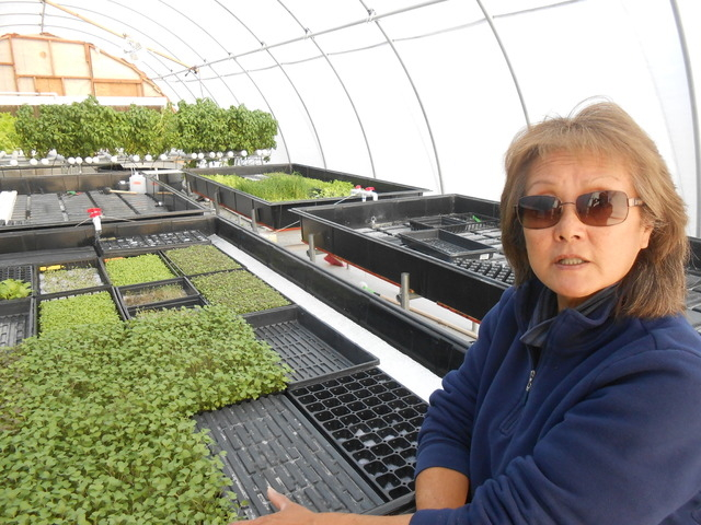 Cowboy Trails Farm owner Marilyn Yamamoto pictured Nov. 26 in front of micro-greens grown in one of the farms only greenhouses. Many of the greens, which are used as garnishes or herbal seasoning, ...