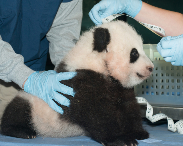 In this Nov. 29, 2013 photo provided by the Smithsonian National Zoo, a giant panda cub is measured as it is about to turn 100 days old, at the Smithsonian National Zoo in Washington. The National ...
