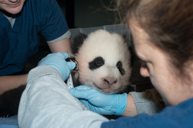 In this Nov. 29, 2013 photo provided by the Smithsonian National Zoo, a newly named Giant Panda cub is measured as it is about to turn 100 days old, at the Smithsonian National Zoo in Washington.  ...