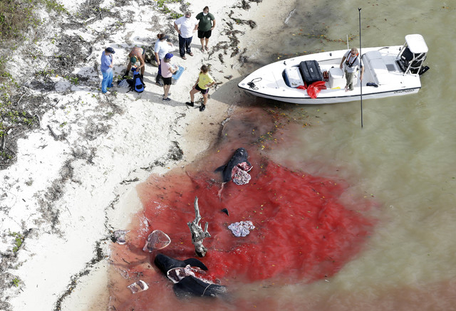 People stand on the beach where two dead pilot whales lie in the water in a remote area of Florida's Everglades National Park, Wednesday, Dec. 4, 2013. Nearly four dozen pilot whales are stranded  ...