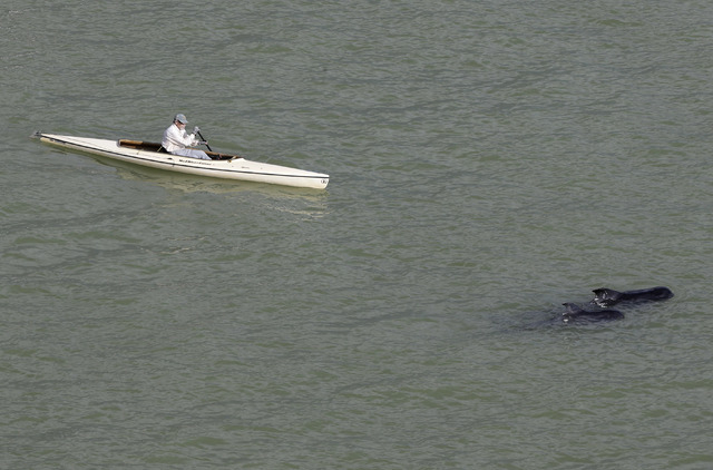 A man paddles a kayak past two pilot whales in a remote area of Florida's Everglades National Park, Wednesday, Dec. 4, 2013. Federal officials say 10 of the dozens of whales stranded in Florida's  ...