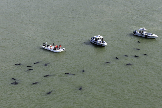Officials in boats monitor the scene where dozens of pilot whales are stranded in shallow water in a remote area of Florida's Everglades National Park, Wednesday, Dec. 4, 2013. (AP Photo/Lynne Sladky)