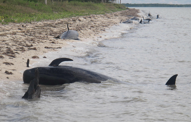 In this Tuesday, Dec. 3, 2013, photo provided by the National Park Service, pilot whales are stranded on a beach in a remote area of the western portion of Everglades National Park, Fla. Federal o ...