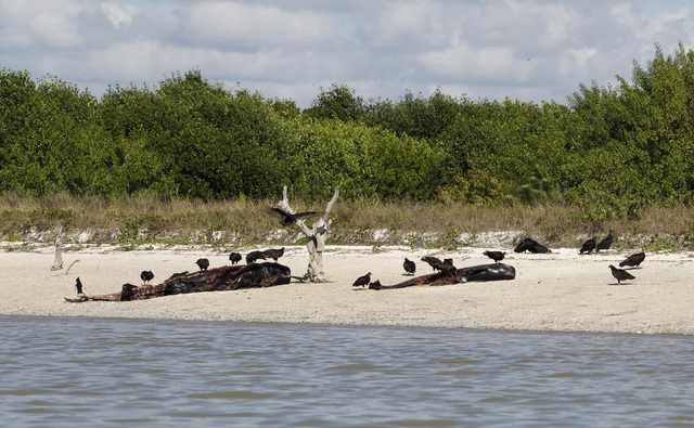 Vultures feed off the carcasses of an adult whale and and a calf ,Thursday, Dec. 5, 2013, at Highland Beach in the Everglades National Park, Fla. Wildlife officials prepared Thursday to use sound  ...