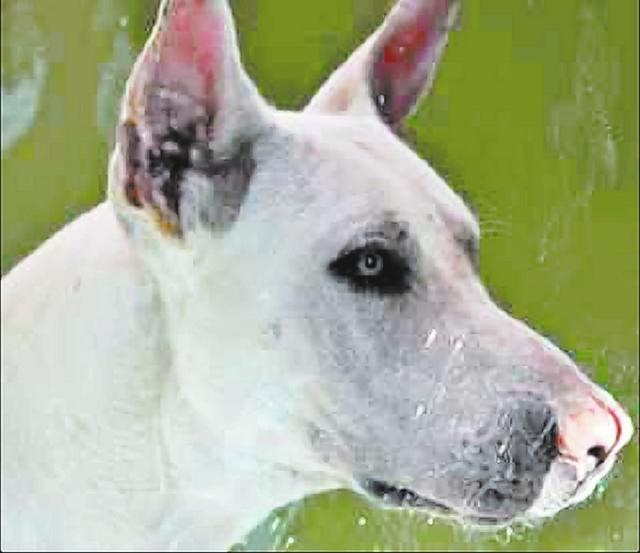 capone The Animal Foundation My name is Capone (I.D. No. A753527), and I'm a 1-year-old male Chinese Shar-Pei mix. I'm hoping that before the year is up, I'll find a forever home with a fami ...