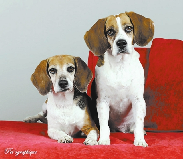 Cookie & Betsy Southern Nevada Beagle Rescue These sisters are 6 and 7 years old, spayed, up to date on vaccines and microchipped. Their owner died, and we would like to keep them together. Betsy  ...