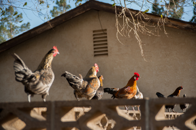 Free-roaming chickens perch on top of a residents wall in the Ranch Estates neighborhood in North Las Vegas on Saturday December 7, 2013. (Martin S. Fuentes/Las Vegas Review-Journal)