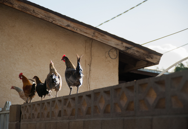 Free-roaming chickens perch on top of a residents wall in the Desert Aire Estates neighborhood in North Las Vegas on Saturday December 7, 2013. (Martin S. Fuentes/Las Vegas Review-Journal)