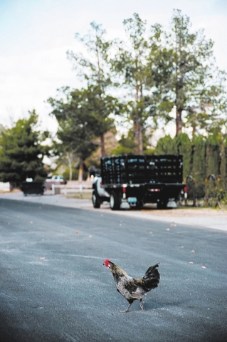 A free-roaming chicken walks across the street in the Desert Aire Estates neighborhood in North Las Vegas on Saturday December 7, 2013. (Martin S. Fuentes/Las Vegas Review-Journal)