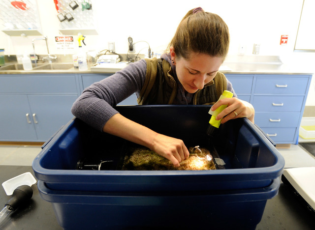 Research associate Ambre Chaudoin extracts invertebrates before searching for Devil's Hole pupfish eggs at the Ash Meadows Fish Conservation Facility on Nov. 25, 2013. A team of from the newly ope ...