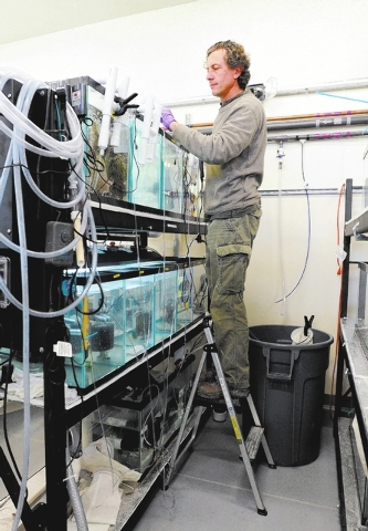 Olin Feuerbacher, aquaculturist at the Ash Meadows Fish Conservation Facility, maintains the aquaria that contain  some of the newly hatched Devil's Hole pupfish on Nov. 25, 2013. A team of from t ...