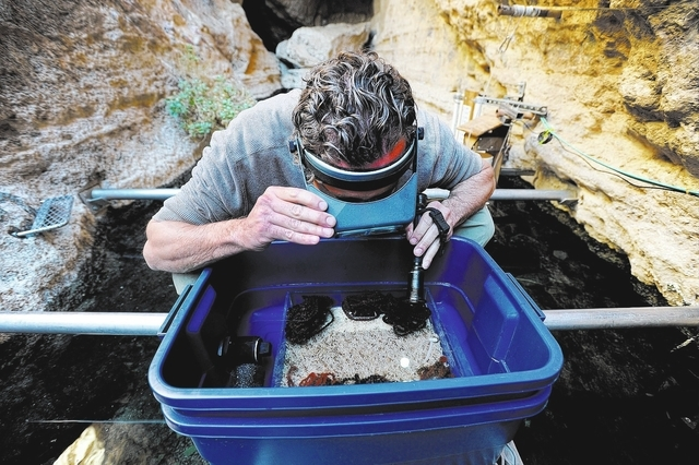 Aquaculturist Olin Feuerbacher examines a spawning mat that was collected from the water at Devil's Hole on Nov. 25, 2013. A multi agency team, including the U.S. Fish and Wildlife Service and Nat ...