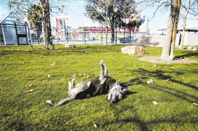 Bridger the dog plays  at the membership-based  dog facility at Fremont Street and 9th Street on Monday, Dec. 16, 2013. The 5,000 square feet play area is schedule to open on Saturday. The park is ...