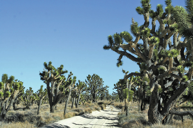 The world's largest concentration of Joshua trees grows in the Mojave National Preserve. (DEBORAH WALL/SPECIAL TO VIEW)