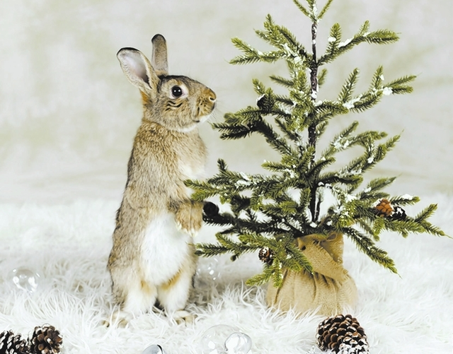 Nautilus Nevada SPCA I am full of wonder about the world and the joy of the holiday season. My name is Nautilus, and I am a baby agouti rabbit, about 7 months of age, a neutered boy, seeking a res ...