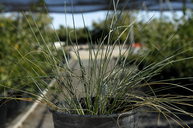 Indian Ricegrass grows in the nursery at the Springs Preserve in Las Vegas on Oct. 22, 2013. This time of year, the Ricegrass is just coming out of it's dormancy phase after a long summer season.  ...