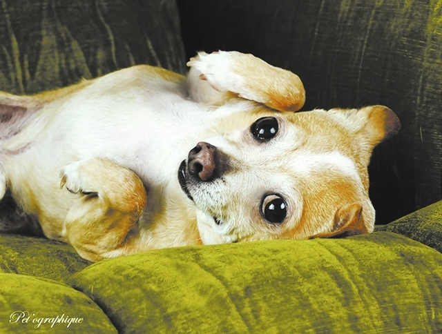 I'm begging for your love.  I am humble and gentle, asking only for kindness in exchange for my unconditional devotion.  My name is Cecil and I am a blond & white Chihuahua, neutered boy, 7 years  ...