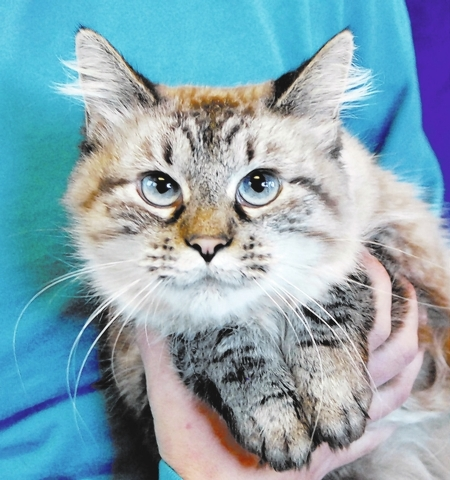 Serentiy Nevada SPCA Please adopt me and accept my gentle spirit in devotion to you for life. My name is Serenity, and I am a young lynx point Balinese mix, 2 years of age and spayed. I delight in ...