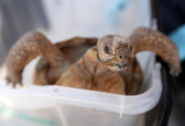 A desert tortoise is seen in May 2012 at the Desert Tortoise Conservation Center in Las Vegas, a research facility as well as a sanctuary for abandoned pet tortoises. (Jessica Ebelhar/Las Vegas Re ...