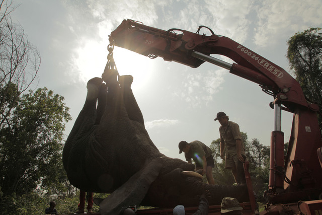 In this photo taken Monday, Jan. 20, 2014 and distributed by the International Fund for Animal Welfare, a tranquilized elephant is loaded on a truck near the town of Daloa in western Ivory Coast.  ...