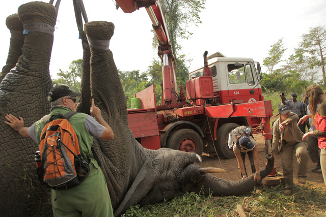 In this photo taken Monday, Jan. 20, 2014 and distributed by the International Fund for Animal Welfare, a tranquilized elephant is loaded onto a truck near the town of Daloa in western Ivory Coast ...